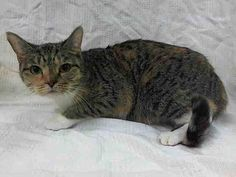 TO BE DESTROYED 8/19/14 ** Hobe's former owner stated she has lived with cats and does fine with them. She also likes to be petted. Hobe tolerates attention and petting but may be stressed in the shelter ** Manhattan Center My name is HOBE. My Animal ID # is A1010450. I am a female calico and white domestic sh mix. The shelter thinks I am about 2 YEARS I came in the shelter as a OWNER SUR on 08/13/2014 from NY 10467, MOVE2PRIVA. Group/Litter #K14-190089.