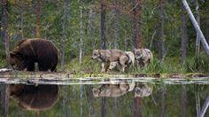 Ulve bliver betraget som økosystemingeniører. Da gråulven blev sat tilbage i Yellowstone National Park i 1995, satte den gang i en såkaldt trofisk kaskade, hvor hele fødekæden blev påvirket. Ulvene var skyld i, at kronhjortene ikke altid stod og græssede på de samme steder, men hele tiden bevægede sig rundt i nationalparken. Dermed fik blandt andet pile- og poppeltræer lov til at vokse sig store igen, og med træerne kom fuglene tilbage til de områder, som kronhjortene tidligere havde hærget…