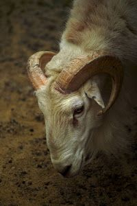 Ram Sheep by Dennis Begnoche - Photo taken of ram sheep in Arizona. Click on the image to enlarge.