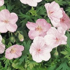 Geranium, Vision Light Pink