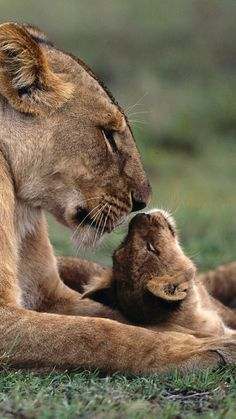 lion, cub, caring, lying, gras
