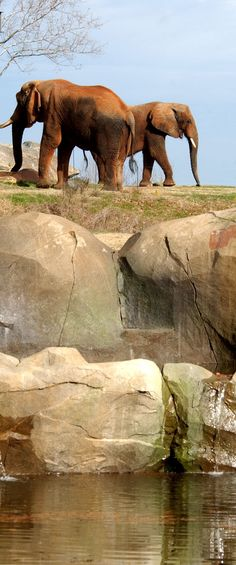 Elephants in a naturalistic habitat at the NC Zoo in North Carolina.