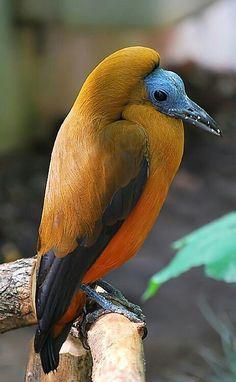 capuchinbird or calfbird (Perissocephalus tricolor) i Weird Birds, Rare Birds, Kinds Of Birds, Exotic Birds, Colorful Birds, Exotic Pets, Exotic Animals, Most Beautiful Birds, Pretty Birds