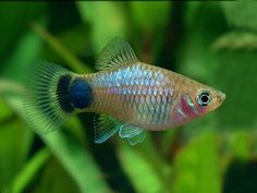 Tropical Freshwater Fish, Freshwater Aquarium, Tropical Fish, Planted Aquarium, Aquarium Fish, Small Catfish, Platy Fish, South American Cichlids, Fish Care