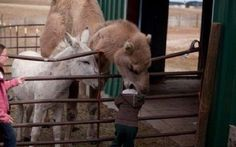 This possible the worst case scenario when visiting a petting zoo. A camel is hungry and sees small little boy who fits right in his mouth. Beware, and always stay close to your little ones when around large animals.