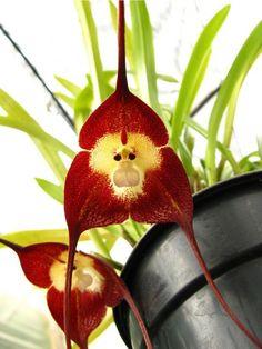 monkey flower 猿の顔に見える花「モンキーオーキッド」が猿すぎる!