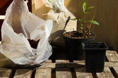 Kjempeverbena (Verbena bonariensis) som har våknet etter dvalen, klar for kutting