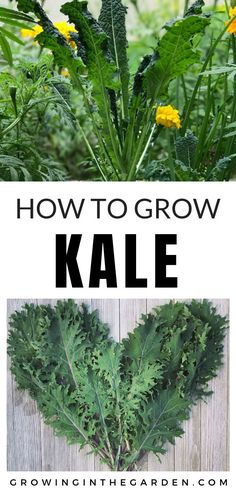 Learn how to grow kale in your vegetable garden. The post Learn how to grow kale in your vegetable garden. Vegetable Garden Planner, Backyard Vegetable Gardens, Garden Landscaping, Kale Vegetable, Backyard Farming, Garden Plants, Garden Types, Organic Vegetables, Growing Vegetables