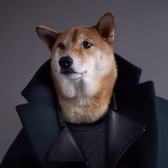 Working Undercover Menswear Dog, Details Magazine, Fluffy Animals, Guys Be Like, Working Dogs, Shiba Inu, Small Dogs, Cuddling, Cute Pictures