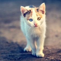 cat with heterochromia... I just love the eyes! So beautiful!