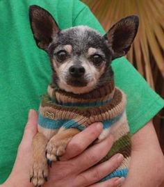 Nevada Society for the Prevention of Cruelty to Animals, Inc. (Nevada SPCA) Las Vegas, NV 89118 Eisenhower~ <3 Humble, tiny senior, Chihuahua, neutered boy, 12 yrs. He is GOOD w/ GENTLE DOGS & CATS! He only weighs 4 lbs, so please take extra safety precautions for him in your home & yard. A quiet home environment is ideal. #chihuahua