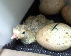 Turkey Incubation and Hatching Guide - BackYard Chickens Community