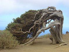"""El Juniperus phoenicea este ejemplar  en su variedad """"canarensis"""" que se encuentra en la isla de El Hierro, en las Islas Canarias, España. Allí los fuertes vientos han modelado el aspecto de la dura madera de esta especie."""