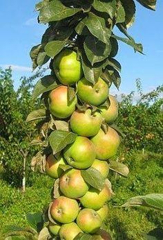 ...Уже на второй-третий год урожай - ведро с яблони - будет обычным делом!
