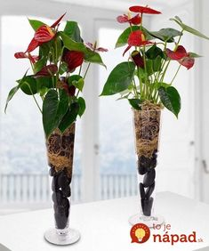 With attractive shiny and bright red heart shaped flowers and contrasting dark green foliage. By Beneva Flowers Sarasota, FL Hydroponic Growing, Hydroponics, Green Plants, Tropical Plants, Plante Anthurium, Water Plants Indoor, Decoration Plante, Plant Design, Flower Delivery