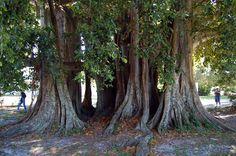 108 year old Banyon tree in Punta Gorda Florida.