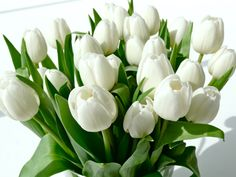 Pictures of flowers: White tulips pictures bouquet White Tulips, White Flowers, White Roses, Park Cafe, Fresh Flowers, Beautiful Flowers, Beautiful Things, Beautiful Life, Gardenias