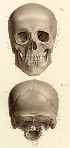 A tribute to the art in medical science. Human Skull, Physiology, Anatomy, Skulls, Drawings, Illustration, Medical Science, Ephemera, Bones