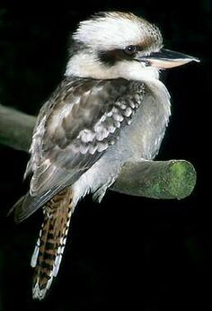 *AUSTRALIA ~ Laughing Kookaburra (Dacelo novaeguineae) is a carnivorous bird in the kingfisher family Halcyonidae. Native to eastern Australia, it has also been introduced to parts of New Zealand, Tasmania and Western Kinds Of Birds, All Birds, Pretty Birds, Beautiful Birds, Australian Animals, Australian Icons, Bird Pictures, Exotic Birds, Kingfisher