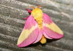 ピンクと黄色でふわふわモコモコ!可愛すぎる蛾、モモイロヤママユ(Rosy Maple Moth)写真12枚