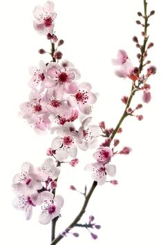 Cherry Branch on White - by Harold Davis