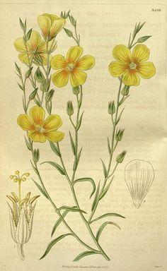 Botanical print by Joseph Swan 1796-1872, British Engraver. From the Liszt Masterpieces of Botanical.
