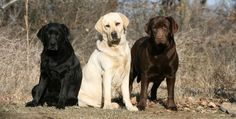 Labrador Color Inheritance - With New Puppy Color Charts - ONLY 3 TRUE COLORS!!!