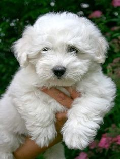 So beautiful in Germany! Teacup Puppies, Baby Puppies, Cute Puppies, Cute Dogs, Dogs And Puppies, Maltese Puppies, Doggies, Cute Baby Animals, Animals And Pets