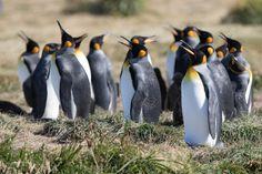 Königspinguine - Feuerland Animals, Patagonia, Explore, Viajes, Animales, Animaux, Animal, Animais