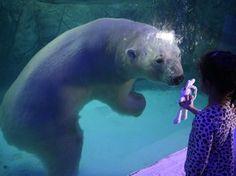 Menina exibe seu coelho de brinquedo para Aurora, um urso polar russo, no aquário de São Paulo. Dois ursos polares, Aurora e Peregrino, chegaram ao zoológico em dezembro. Após 4 meses de adaptação eles foram colocados para visitação nesta quinta (16) (Foto: Andre Penner/AP)