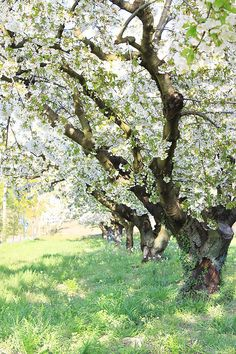 Fruit trees in blossom in Bonnieux, France Watercolor Trees, Watercolor Landscape, Landscape Photos, Landscape Art, Beautiful Flowers, Beautiful Places, Scenery Pictures, Spring Aesthetic, Spring Blossom