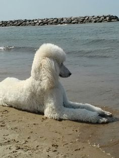 White Standard Poodle, Harry at the beach