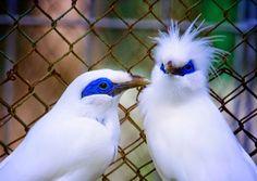 Sepasang burung Jalak Bali