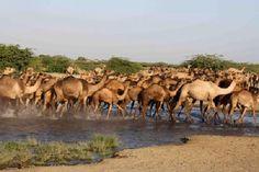 Camel crossing hot spring, Danakil Depression