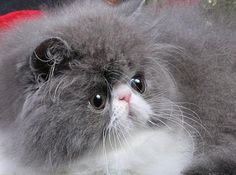 Smushed face kitteh! I don't care for cats but I want this one.