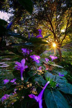 Purple Petunias by dfikar1, via Flickr; Botanical Gardens, Fort Worth, Texas