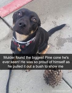 Mulder Found The Biggest Pine Cone He's Ever Seen! He Was So Proud Of Himself As He Pulled It Out A Bush To Show Me