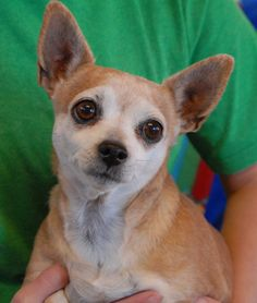 Angel is a soulful lady who yearns for reassurance.  She is housetrained, great with dogs and mature kids, and very kind.  Angel needed us when her previous owner had a stroke and could no longer provide care for her.  She is a Chihuahua, about 7 years of age, spayed, and debuting for adoption today at Nevada SPCA (www.nevadaspca.org).