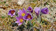 Die ersten Frühlingsblumen sind da : Küchenschellen
