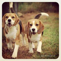 Sunshine & Mary #dogs, #eye4dogs, #beagle, #animals