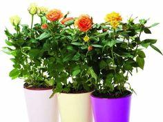 Ca sa-ti mearga bine-n toate, impodobeste-ti casa cu flori. si nu cu unele alese la intamplare, ci cu cele care alunga ghinionul si atrag ca un magnet buna intelegere.  Trandafirii pitici atrag energiile pozitive  Ai primit in dar un ghiveci cu trandafiri pitici (Rosa hybrid)? Dupa ce florile s- Feng Shui, Planter Pots, Houses