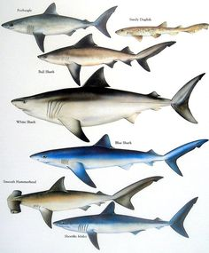 Porbeagle, Bull Shark, Sandy Dogfish, White Shark, etc. Vintage 1984 Fish Book Plate