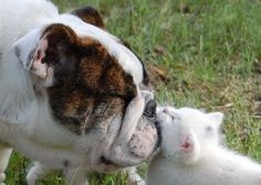 There really are no words to adequately describe the off-the-charts level of cuteness in these insanely precious bulldog puppy and fluffy white kitty photos.