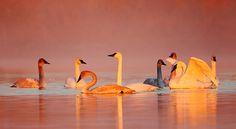 Swans at Sunrise, Danny Brown