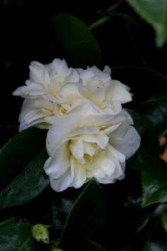 Camellia japonica 'Moshe Dayan' (U.K., 1984)
