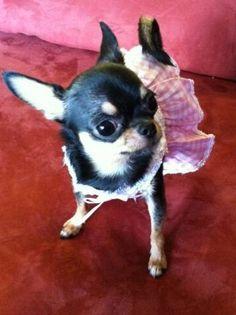 ❤️TeaCup Chihuahua Black & Tan❤️