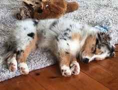 Affectueux, débordant d'énergie, curieux et très joueur, le Berger Australien est le compagnon canin idéal pour toute la famille. Contrairement...