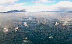 Daily Cute: Humpback Whales Bubble Feeding