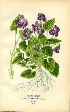 Parma Violet (Viola odorata)