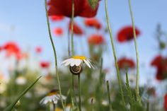 Dandelion, Flowers, Plants, Pictures, Dandelions, Flora, Plant, Royal Icing Flowers, Flower